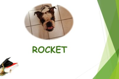Rocket – Bouledogue Anglais