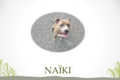 Naïki – American Staffordshire Terrier