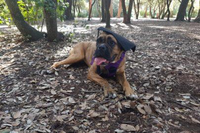 Ruby – Boxer croisée Cane Corso
