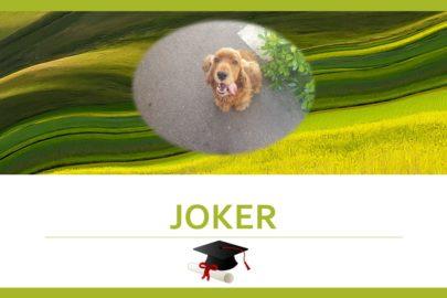 Joker – Cocker Anglais