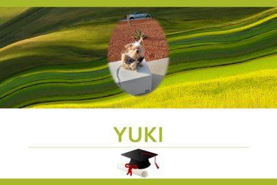 Yuki – Spitz croisé Yorkshire